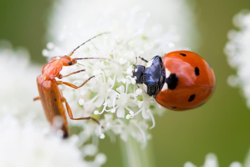 Nyckelpigaskalbagge på kronbladet för vit blomma selektiv fokus för makrosikt fotografering för bildbyråer