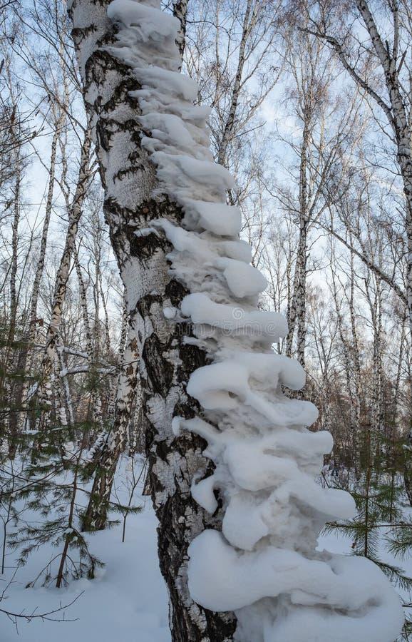 Nyckfulla utseenden från den insnöade skogen för a-björkvinter i Ryssland royaltyfria bilder