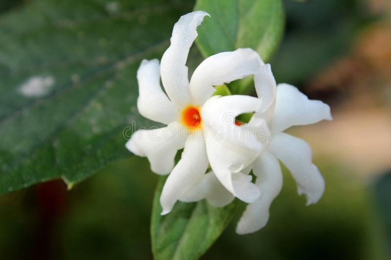Nyctanthes arbor tristis night flowering jasmine, parijat, Gangaseuli, Jharaa sephali, Siuli flower blooming in nature with bea. Beautiful Nyctanthes arbor stock images