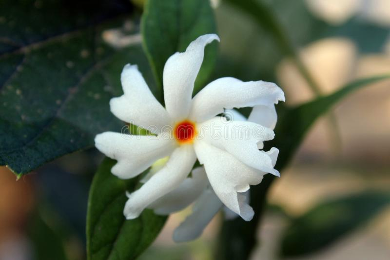 Nyctanthes arbor tristis night flowering jasmine, parijat, Gangaseuli, Jharaa sephali, Siuli flower blooming in nature with bea. Beautiful Nyctanthes arbor stock photo