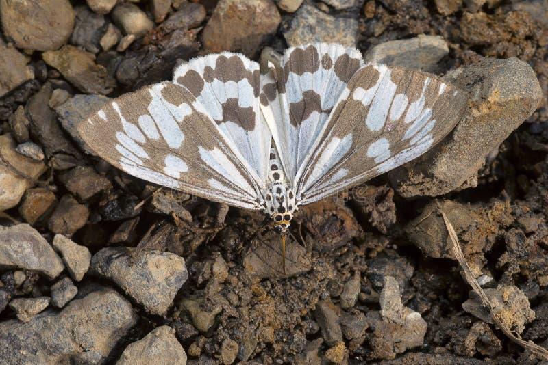 Nyctemera-adversata, Motte der Familie Erebidae Sukhai, Nagaland stockfoto