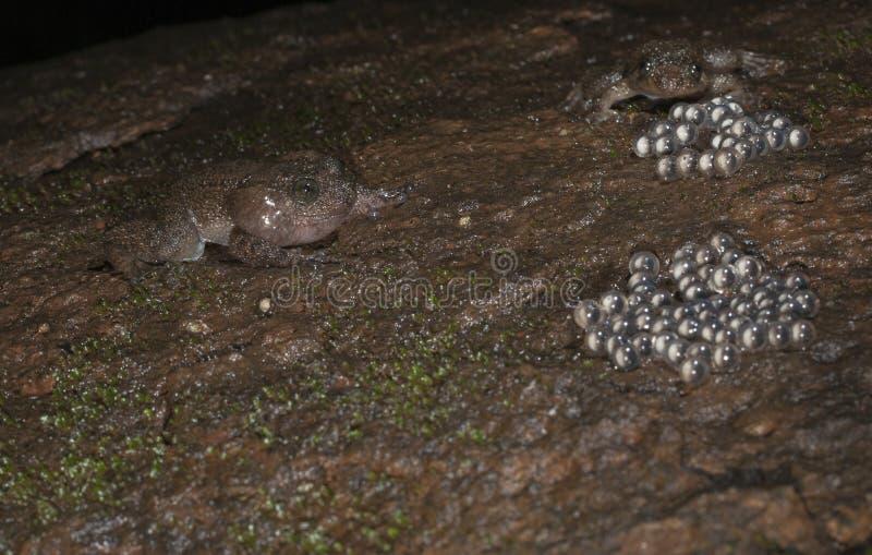 Nyctibatrachus of nachtkikker die rond eieren roepen stock afbeelding
