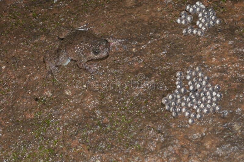 Nyctibatrachus près des oeufs vus au matheran photographie stock libre de droits