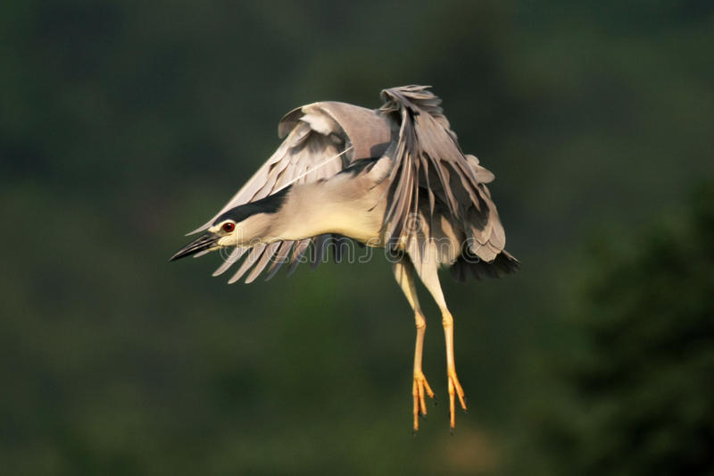 Nycticorax photographie stock