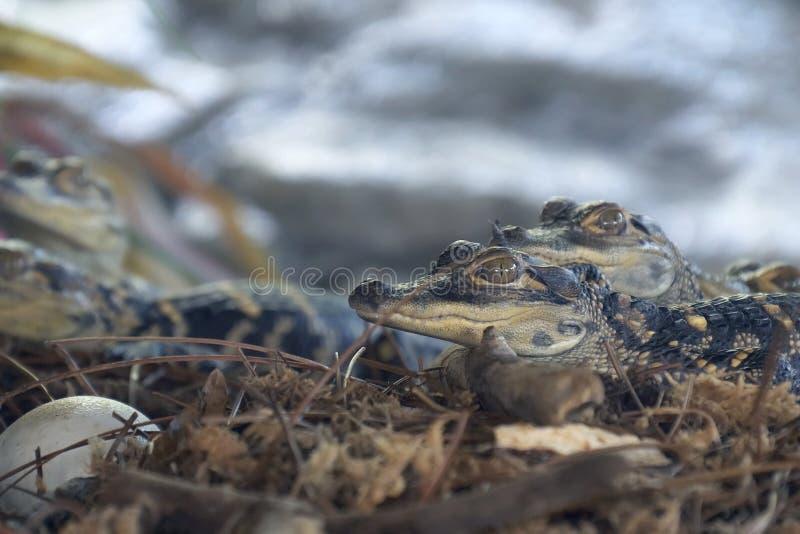 Nyfödd alligator nära ägget som lägger i redet royaltyfria bilder