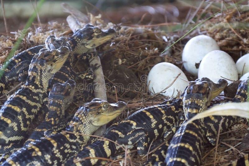 Nyfödd alligator nära ägget som lägger i redet fotografering för bildbyråer