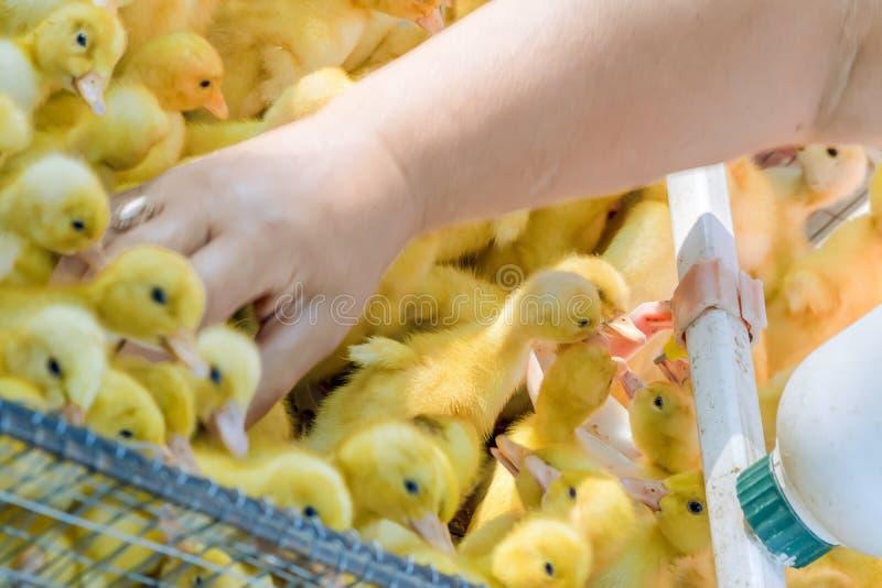 Nyfödd guling behandla som ett barn ankungedricksvatten från en automatisk supare Jordbruks- aff?r Sälja fåglar på lokal bonde royaltyfri fotografi