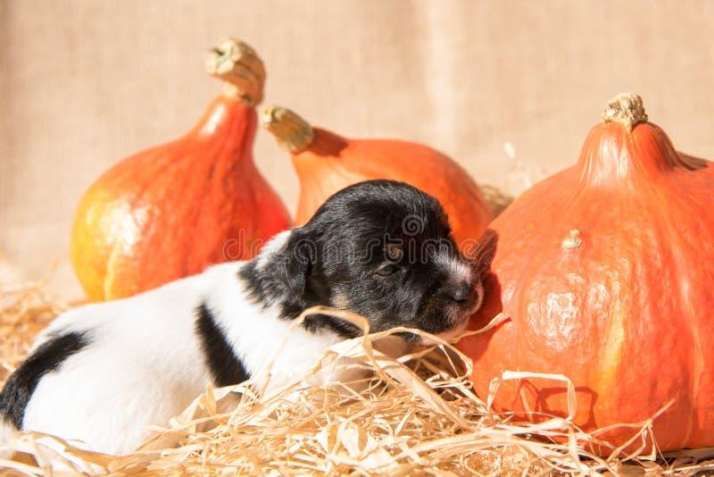 Nyfödd Jack Russell Terrier valp med pumpa arkivfoto