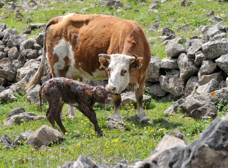 nyfödd kalv arkivbild