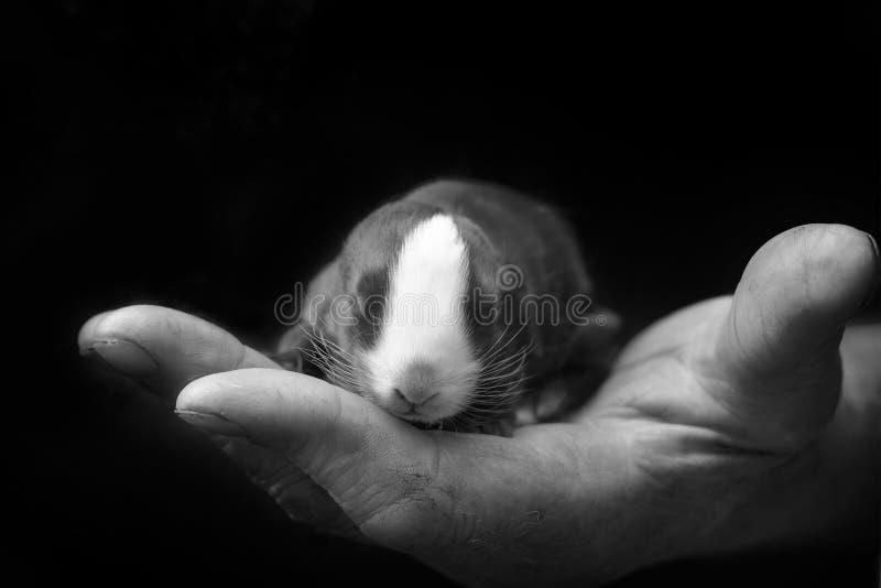 Nyfödd kanin i ägarens hand Att bry sig för husdjur förälskelse till djuren arkivbilder