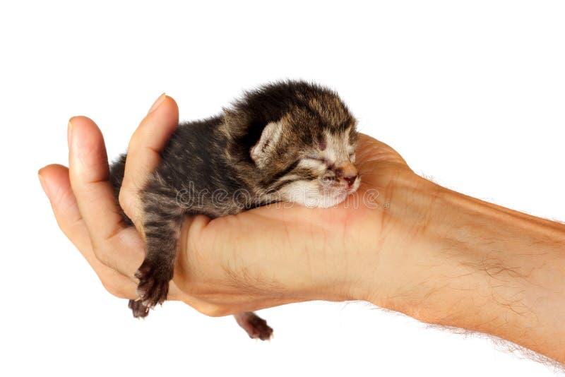 Nyfödd kattunge i armar av mannen på isolerad bakgrund royaltyfria bilder