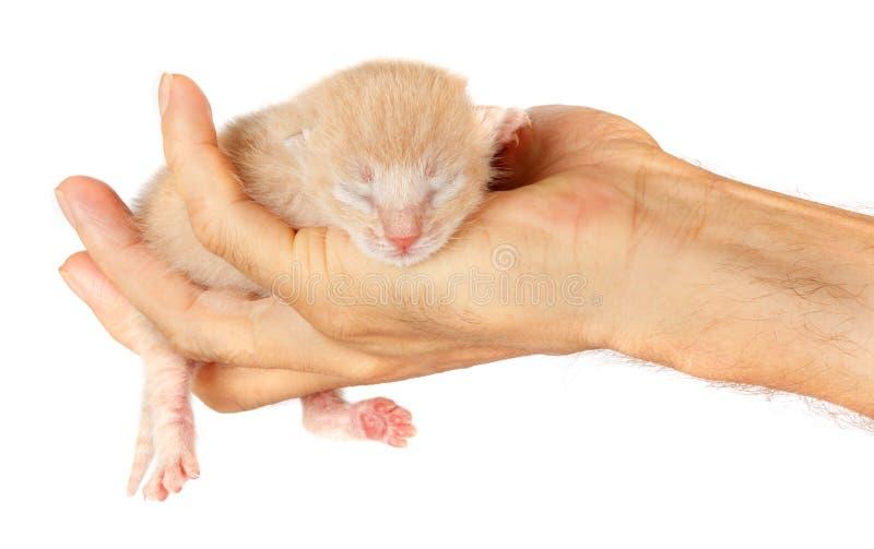 Nyfödd kattunge i armar av mannen på isolerad bakgrund arkivbild