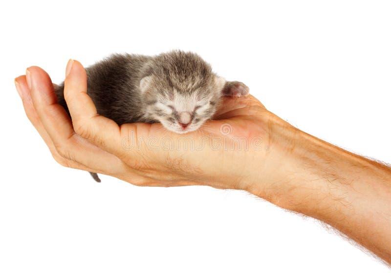 Nyfödd kattunge i armar av mannen på isolerad bakgrund royaltyfri foto