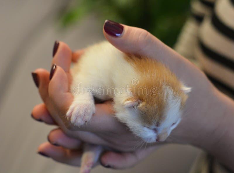 Nyfödd kattunge i flickahänder royaltyfria bilder