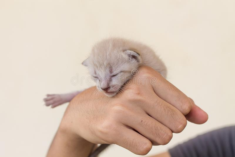 Nyfödd kattunge i händer royaltyfri bild
