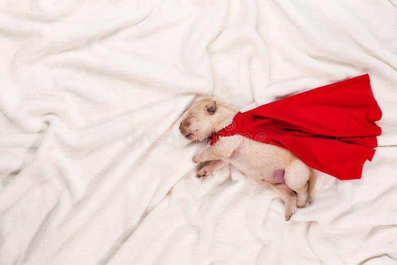 Nyfödd labrador valp med röd superheroudde som sover på vit arkivfoton