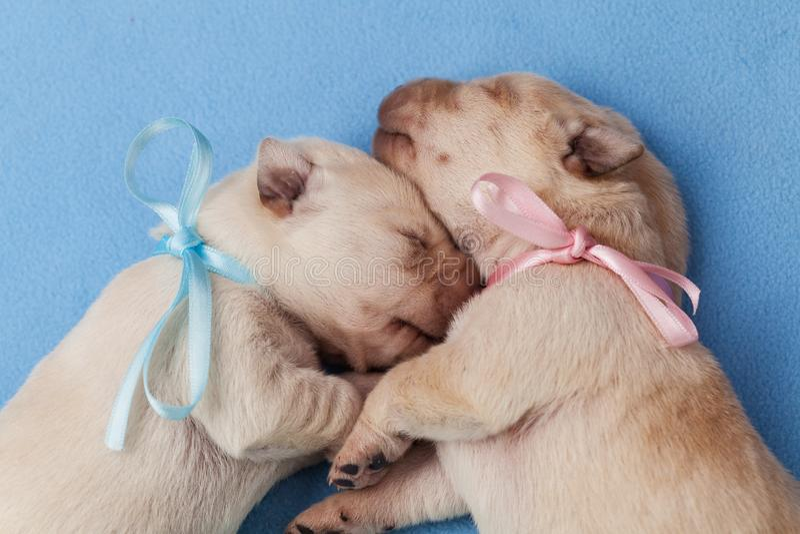 Nyfödd labrador valphundkapplöpning - mannen och kvinnligt - som sover på den blåa filten royaltyfri foto