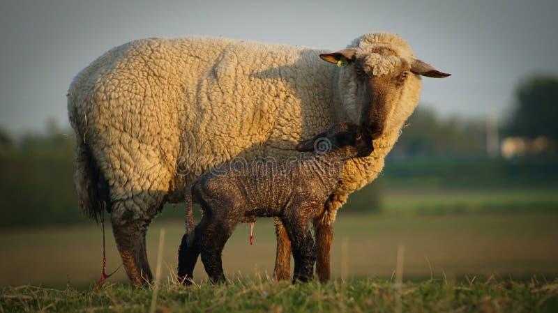 nyfödd lamb royaltyfri foto