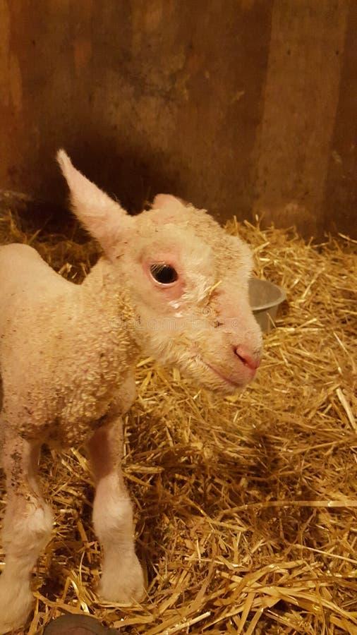 nyfödd lamb royaltyfria bilder