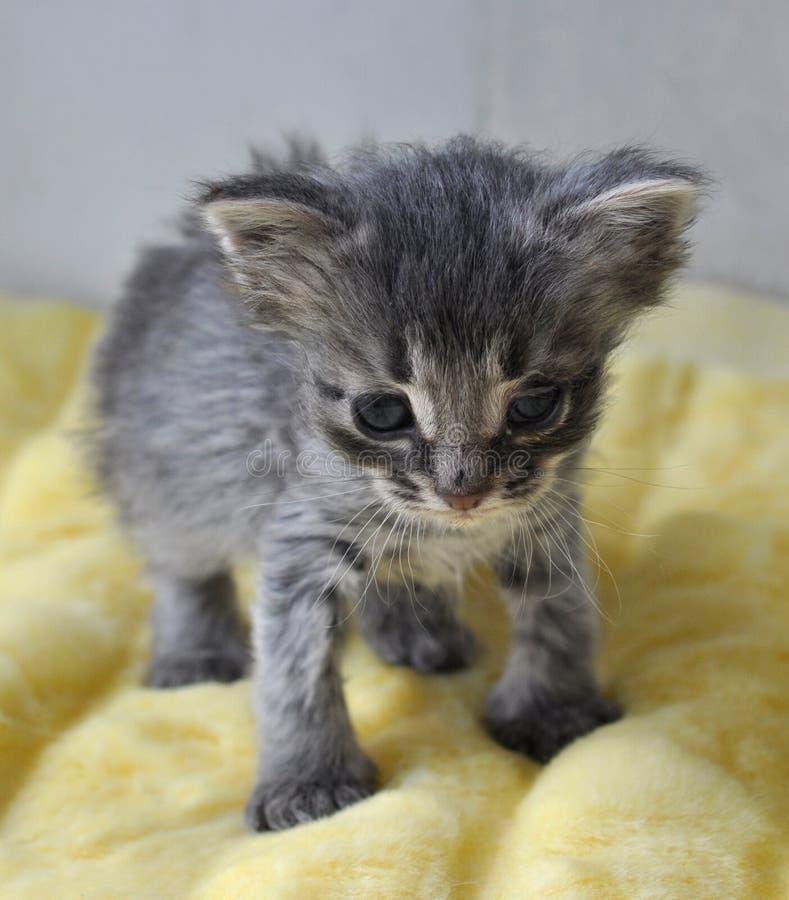 Nyfödd liten grå kattunge royaltyfri bild