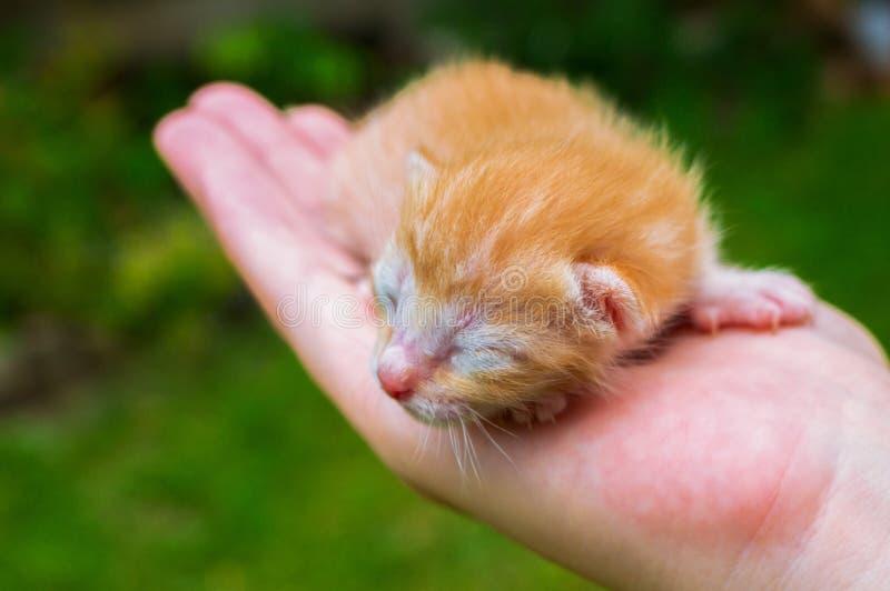 Nyfödd pott i hand Nyfött behandla som ett barn katten Röd pott, i att att bry sig händer royaltyfri foto