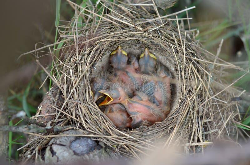 Nyfödda fem behandla som ett barn fåglar av sångtrasten i redet royaltyfri foto