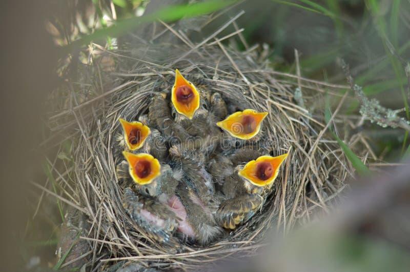 Nyfödda fem behandla som ett barn fåglar av sångtrasten med öppna näbb frågar vitt för mat arkivbild