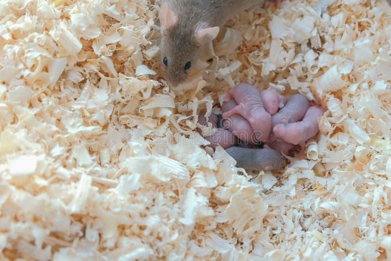 Nyfödda små möss är blinda med deras mamma i redet royaltyfri fotografi