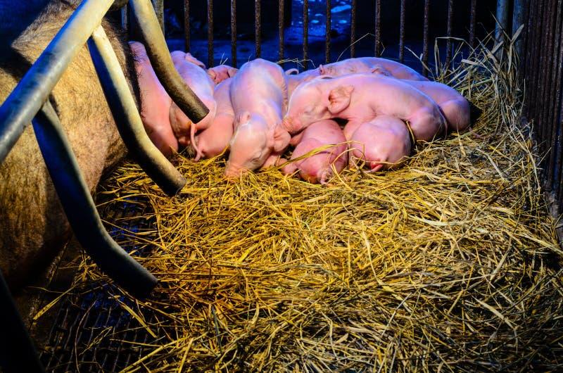 Nyfödda svin som sover på sugröret arkivbilder