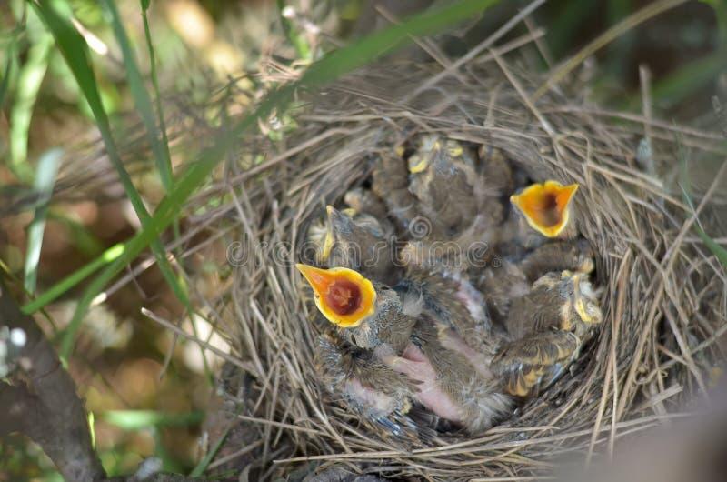 Nyfött behandla som ett barn fåglar i redet av sångtrasten frågar för mat arkivfoto