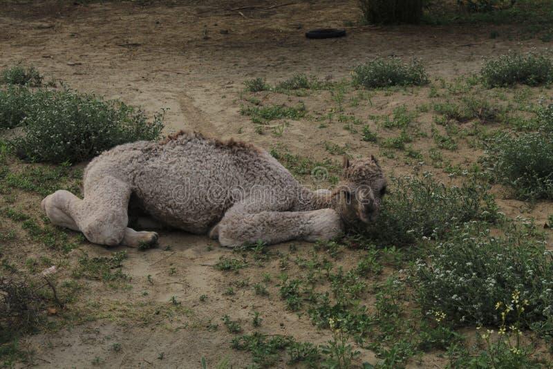 Nyfött behandla som ett barn kamlet arkivfoto