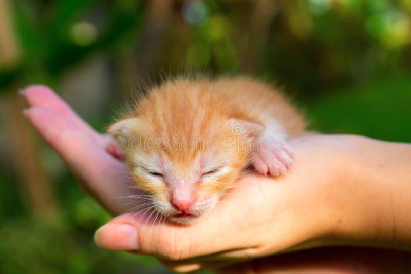 Nyfött behandla som ett barn katten Röd pott, i att att bry sig händer fotografering för bildbyråer