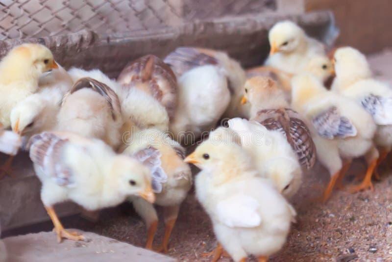 Nyfött chiken En grupp av små Bio hönor på en hemlantgård Feg matning royaltyfria bilder