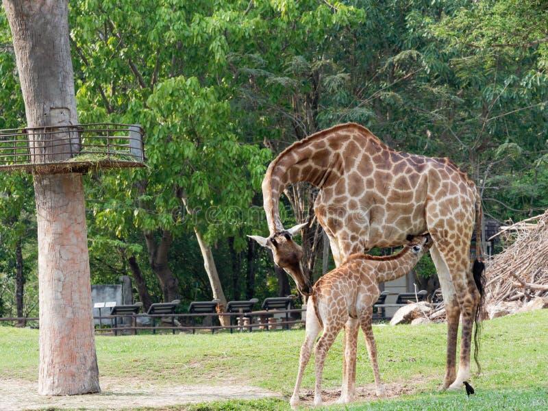 Nyfött eller behandla som ett barn giraffet som drinkar mjölkar, medan mamman kelar hennes kalv i en zooshowförälskelse och moder royaltyfri foto
