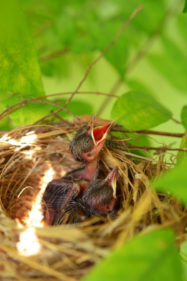 Nyfött hungrigt behandla som ett barn fåglar royaltyfria foton