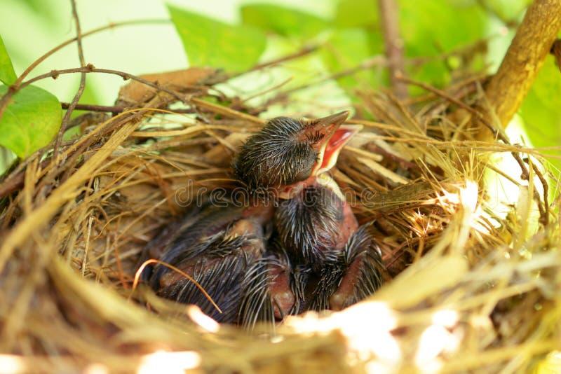 Nyfött hungrigt behandla som ett barn fåglar arkivfoto