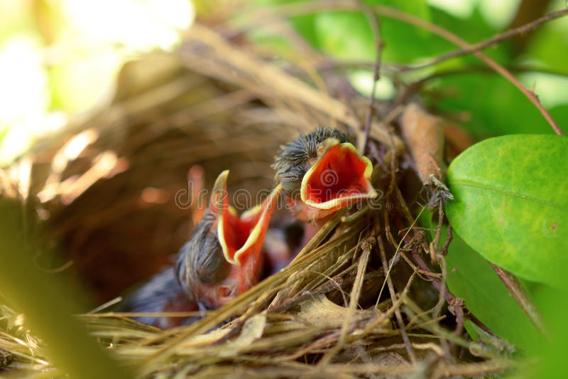 Nyfött hungrigt behandla som ett barn fåglar arkivfoton