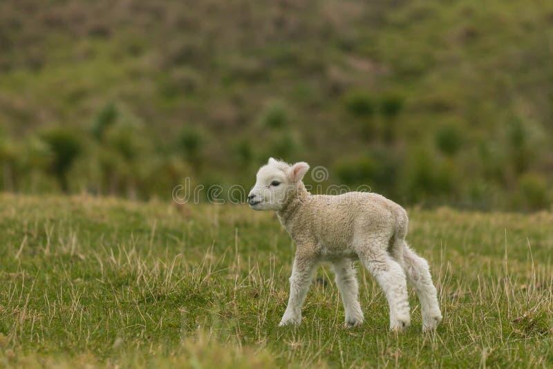 Nyfött lammanseende på gräs arkivfoton