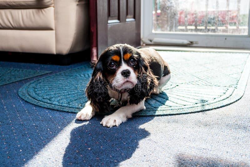Nyfiken älsklings- hund som ser upp arkivbild