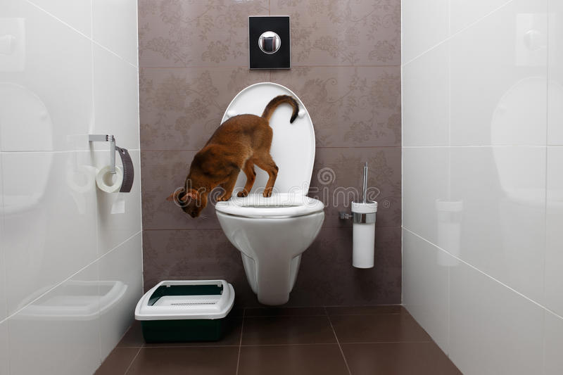 Nyfiken Abyssinian Cat Sitting på toalettbunken och se ner royaltyfria bilder