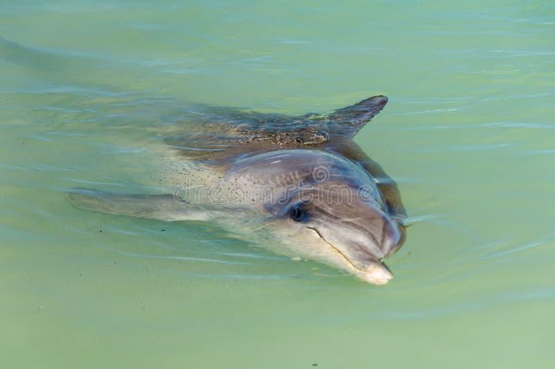 Nyfiken delfin - apa Mia arkivfoto