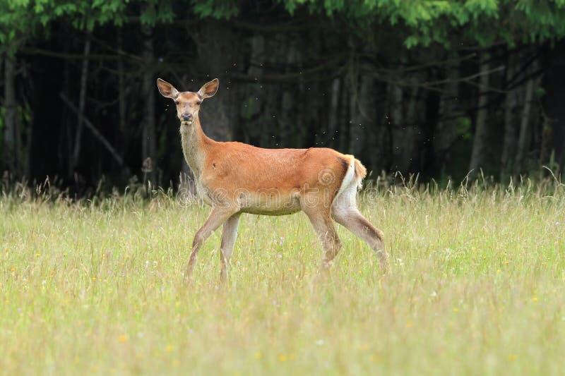 Nyfiken doe för röda hjortar arkivfoto