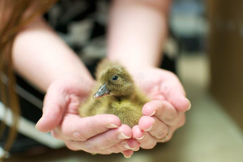 nyfiken duckling arkivbilder