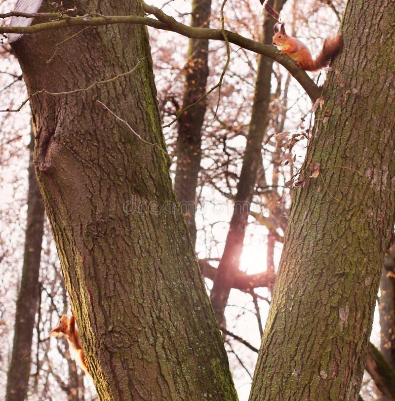 nyfiken ekorre röd ekorre ekorre Höst Vinter Skog royaltyfria foton