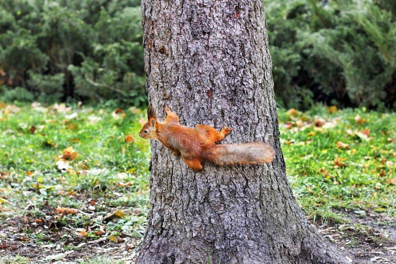 nyfiken ekorre röd ekorre ekorre Höst Vinter Skogvår anhydrous E royaltyfri fotografi