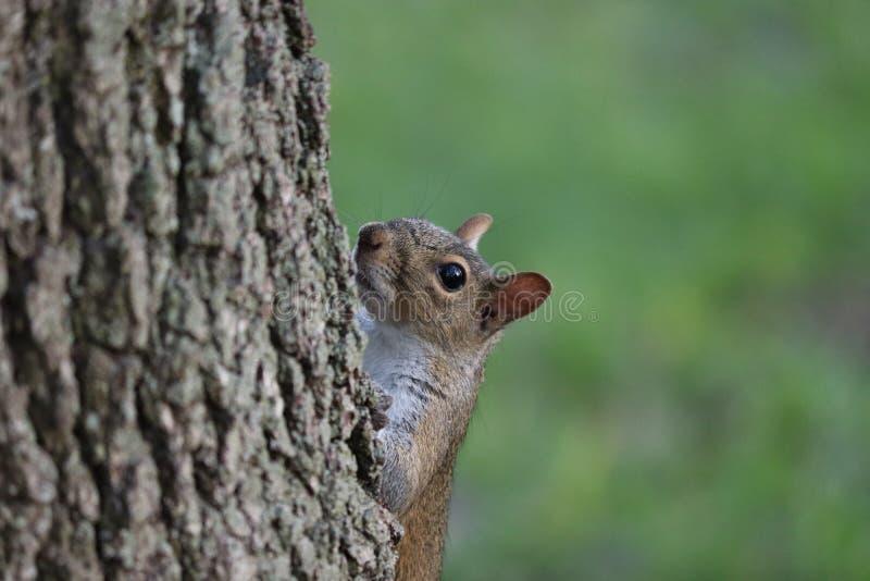 Nyfiken ekorre som ut bakifrån ser en trädstam royaltyfria bilder