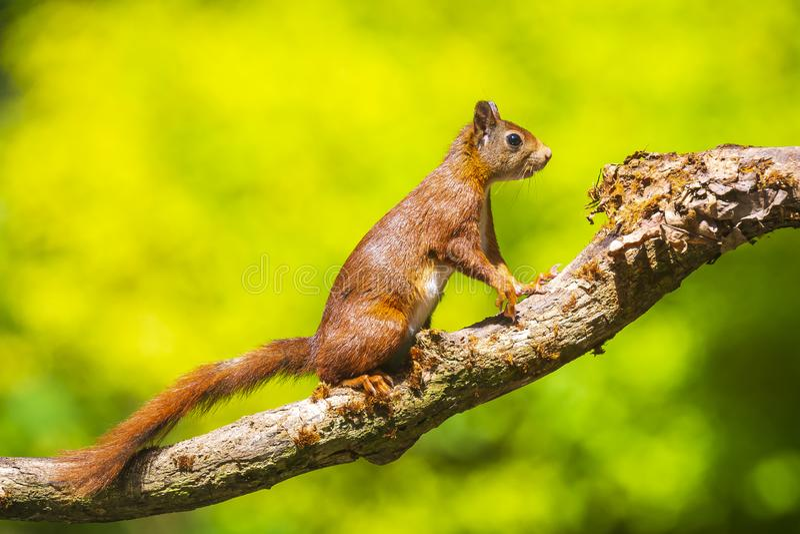 Nyfiken Eurasian röd ekorre, vulgaris som Sciurus kör och hoppar till och med träd i en skog arkivfoton