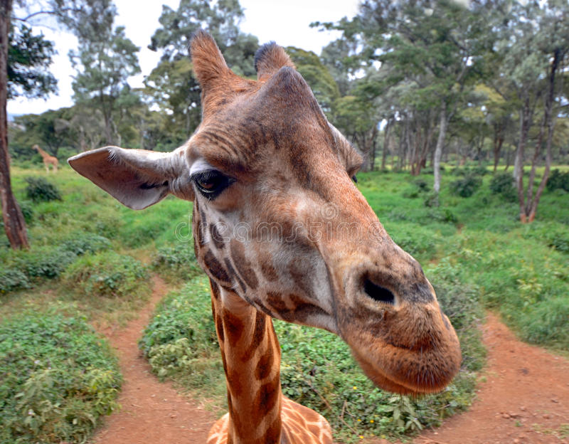 Nyfiken giraff head closeup med naturen royaltyfri foto
