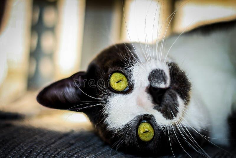 Nyfiken katt som lyssnar till hans ägare royaltyfria foton