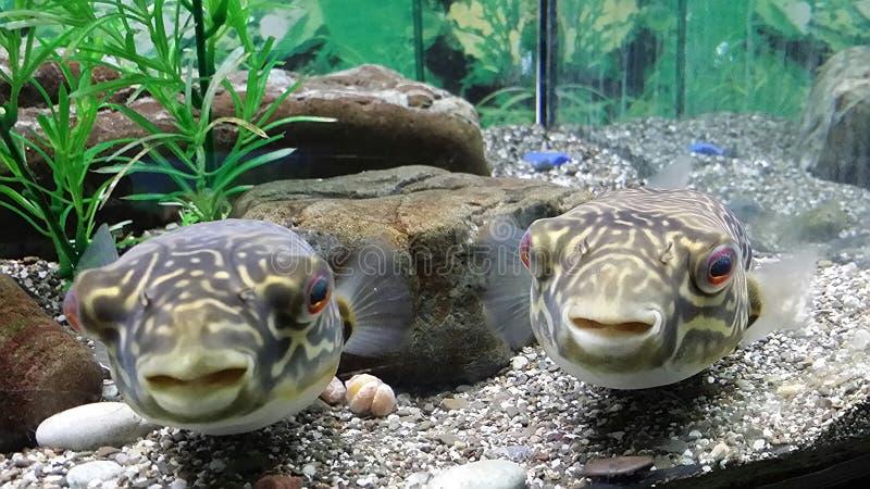 Nyfiken marin- fisk två i ett akvarium royaltyfria bilder